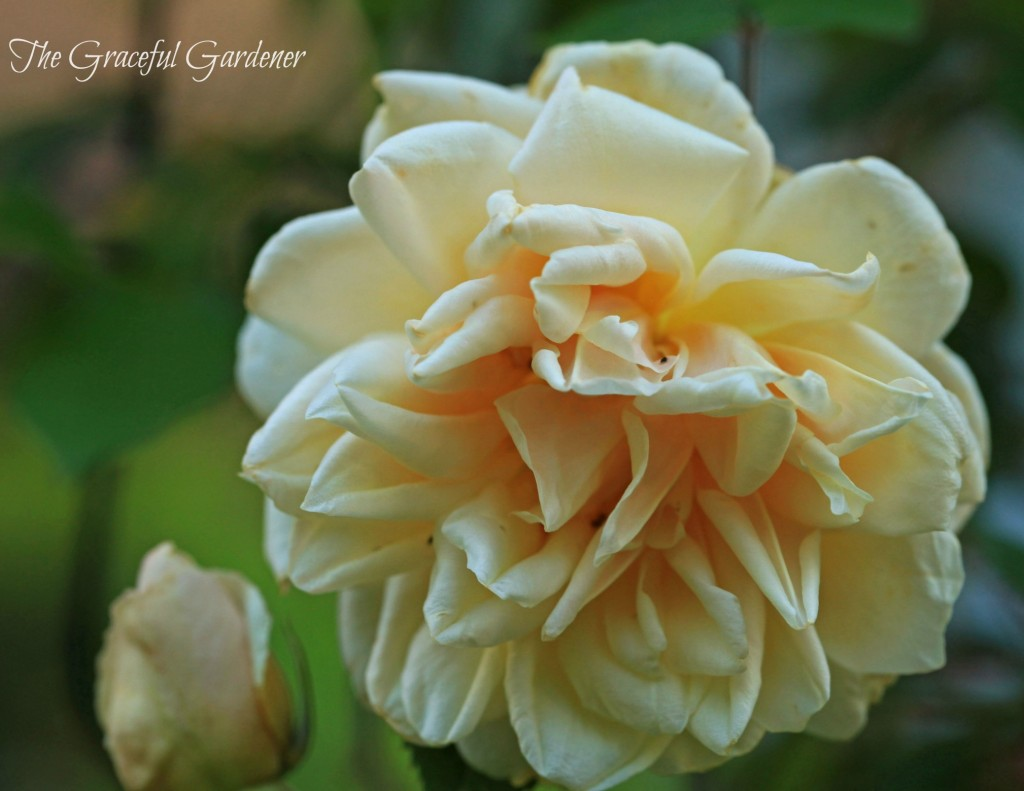 Climbing Noisette rose 'Rev'd'Or'