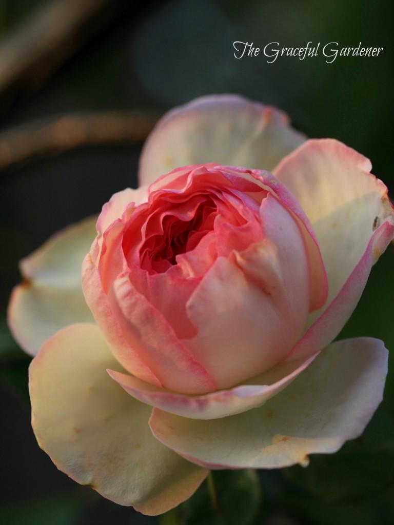 Climbing rose 'Eden'