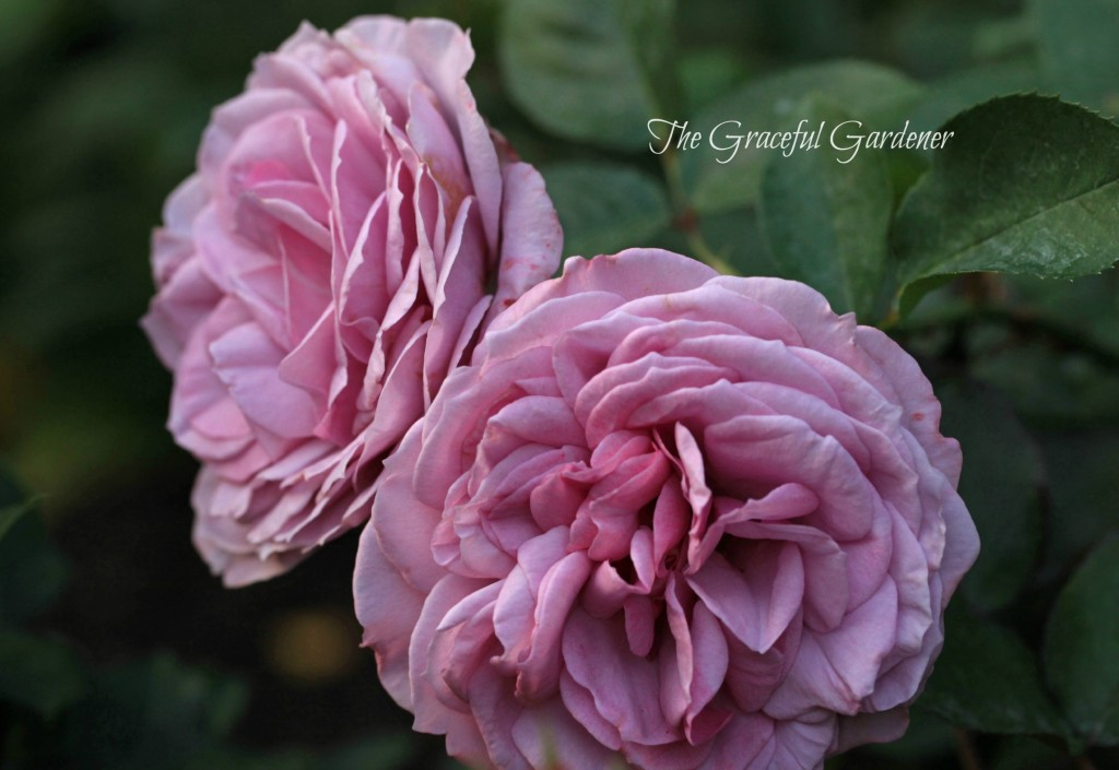 Floribunda rose 'Love Song'