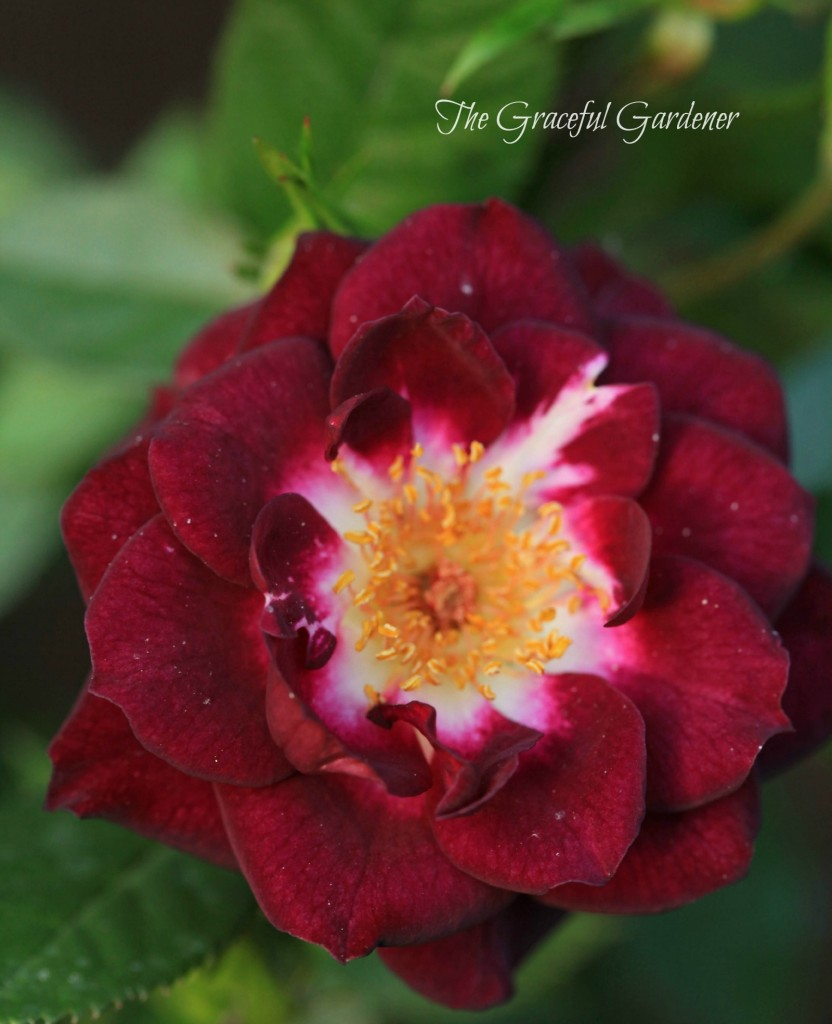 Miniature rose 'Diamond Eyes'