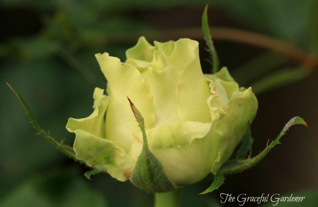 'Green Romantica'