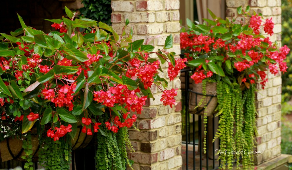 Dragon Wing begonia window boxes