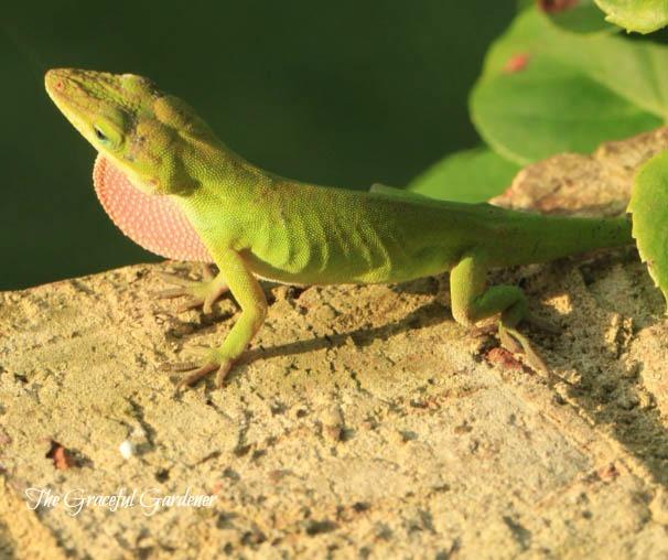 photo-1_lizard