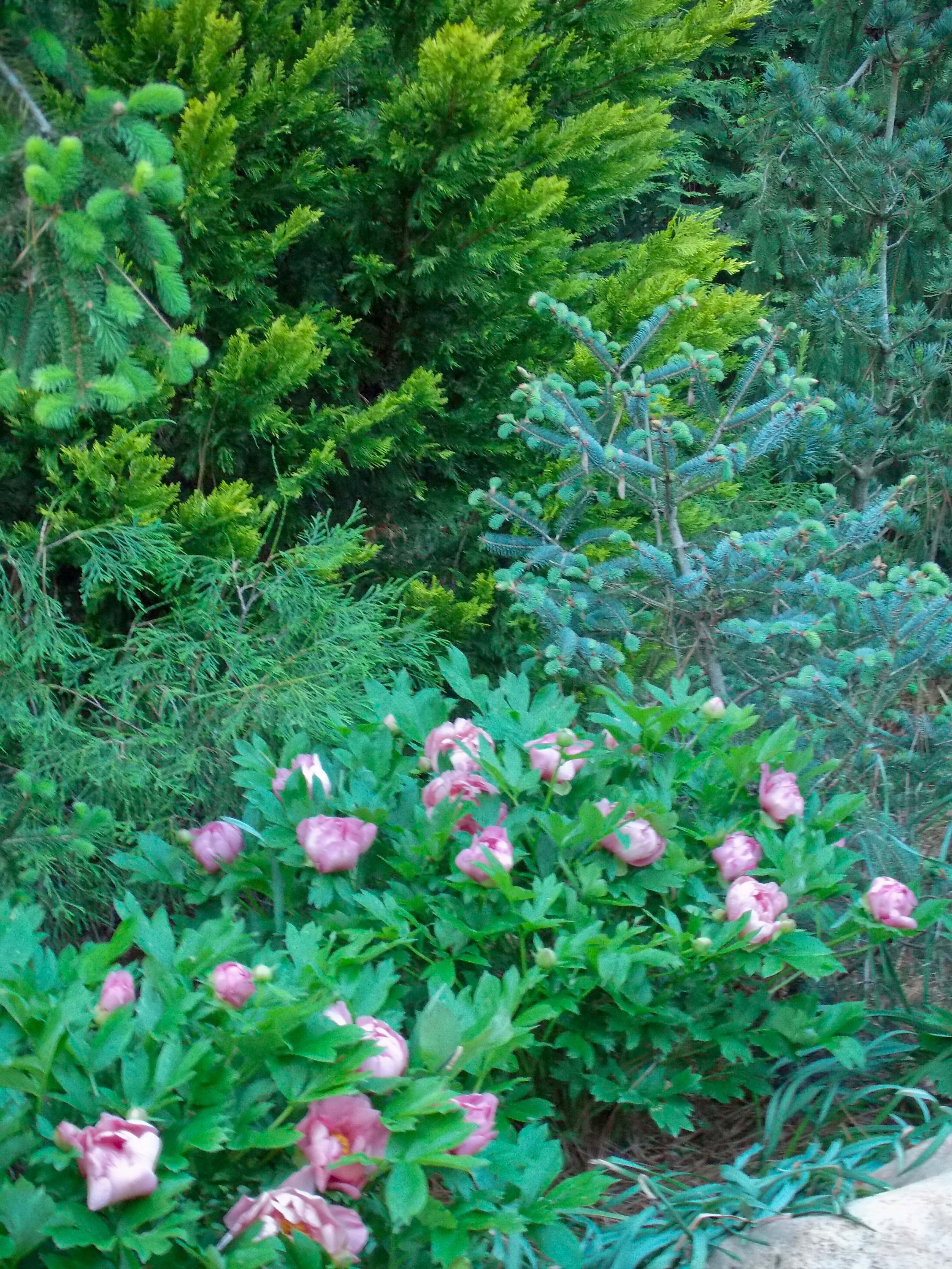 Creating Spring Color and Texture With Conifers and Japanese Maples ...