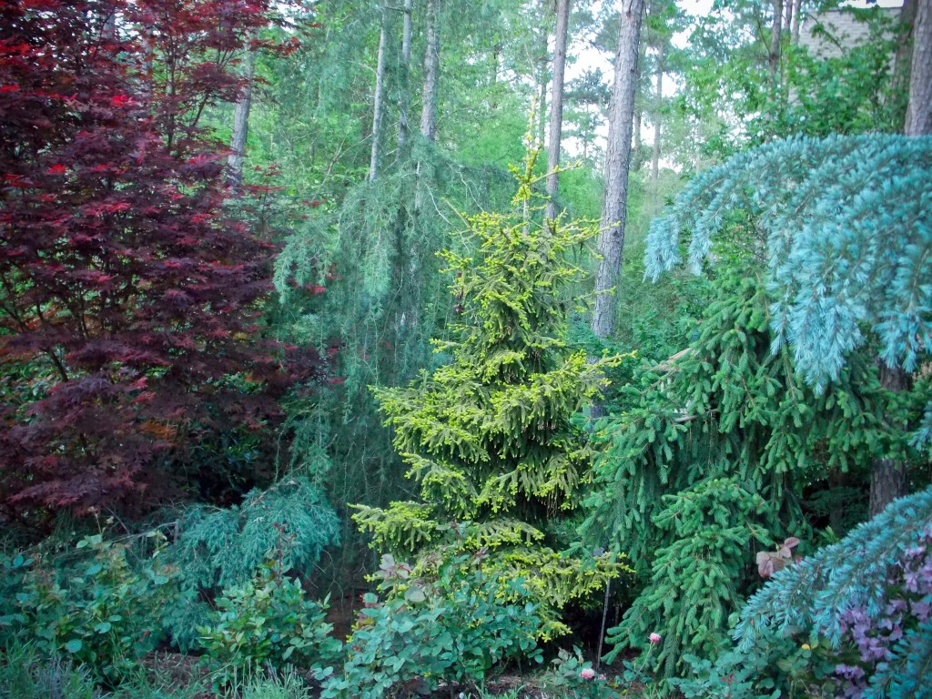 conifersand JapMaples_5