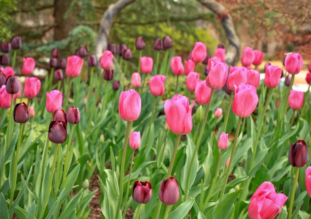tulipsbasket