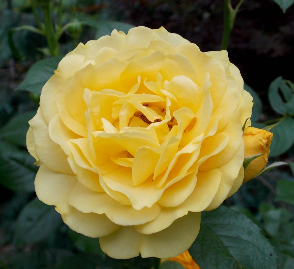 'Julia Child' Floribunda rose