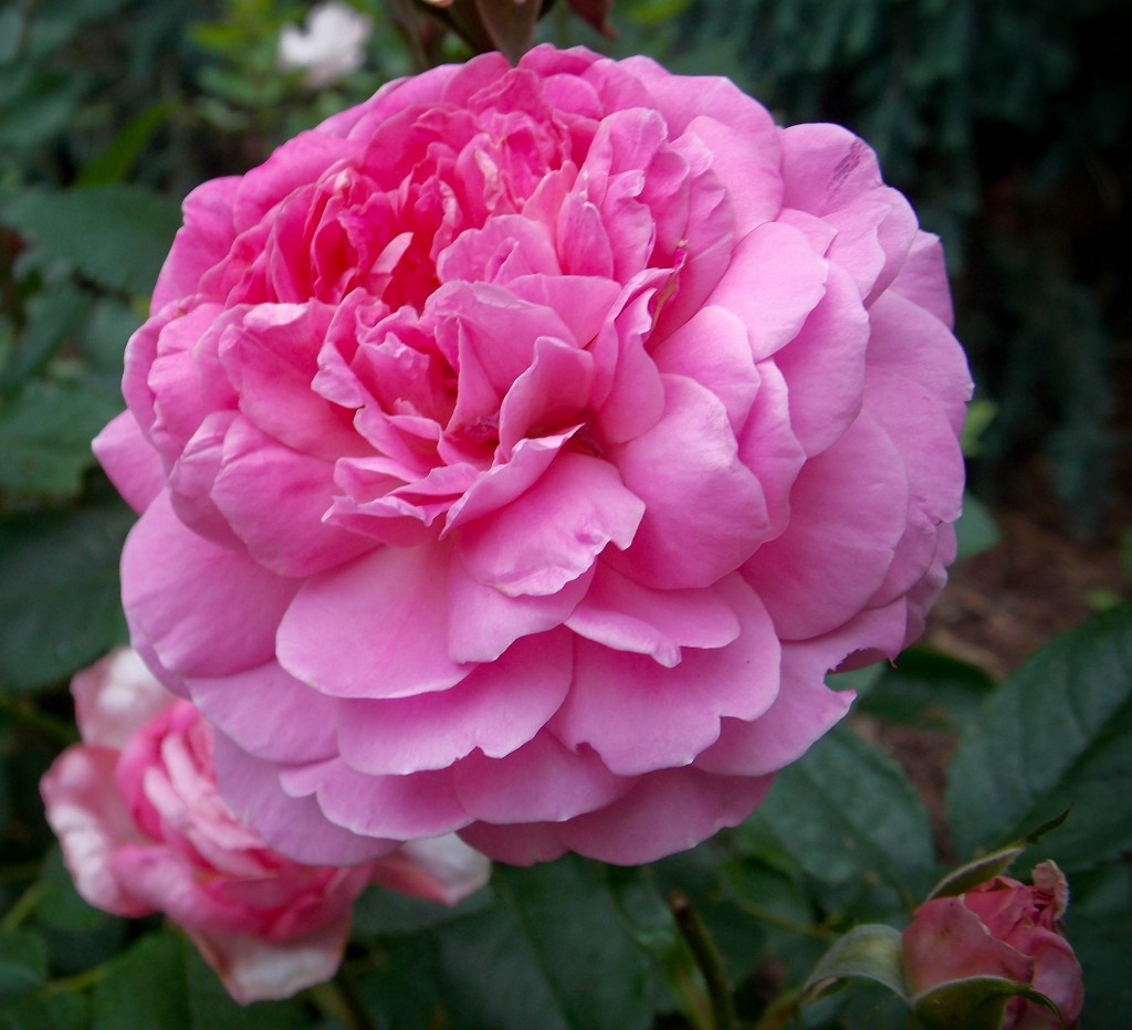 'Princess Alexandra of Kent' David Austin rose